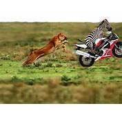 Funny Zebra Pictures 2011  Animals