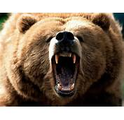 Grizzly Bear Fight Attack Vs