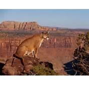 Labels Carnivore » Cougar Mammal