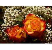 My Favorite Roses Yellow With Red Tips E Knows This Already