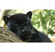 Description Black Panther By Bruce McAdamjpg