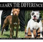 Bull Terriers Beautiful Pitti American Pit Bullying