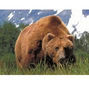 North American Bear Center  Brown Or Grizzly
