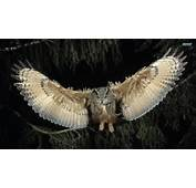 Flying Owl Exclusive HD Wallpapers 4157