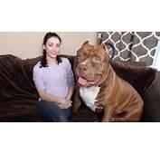 Giant Bully Pitbulls 175 Pound Pit Bull Hulk Shatters Misconceptions
