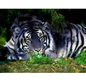 Pictures Artwork Tattoos Wallpapers Of Tiger And Facts